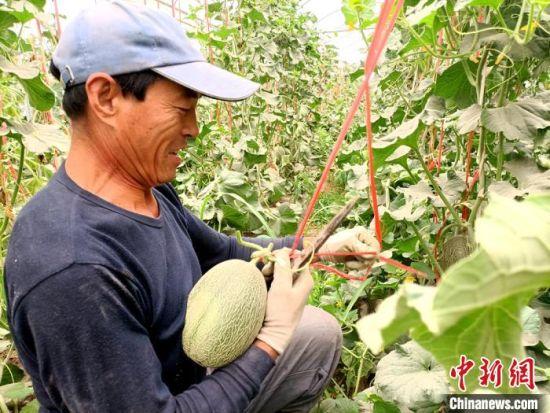 7月上旬,在大田蜜瓜还处于生长期时,甘肃省酒泉市瓜州县瓜州镇连体大棚的蜜瓜已陆续成熟上市。图为瓜农采摘蜜瓜。 王昭琪 摄