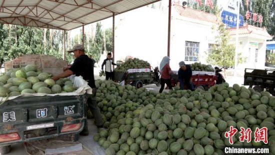 图为新鲜采摘的蜜瓜拉运到交易市场。 王昭琪 摄