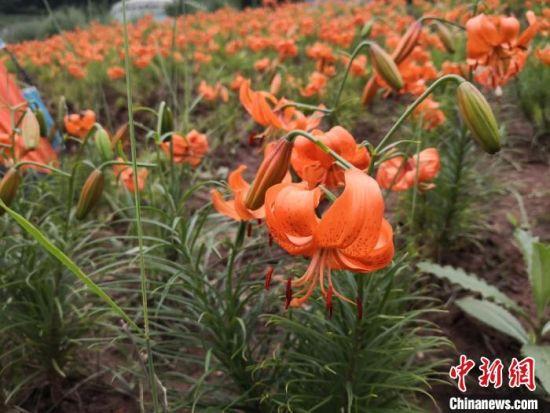 图为7月中旬,盛开的兰州百合花。 杜萍 摄