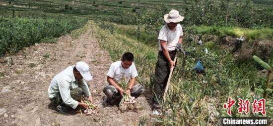 图为甘肃静宁县蒜农在田内拔蒜、编蒜成串。(资料图) 王焕龙 摄