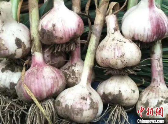 图为刚出土的大蒜。(资料图) 王焕龙 摄