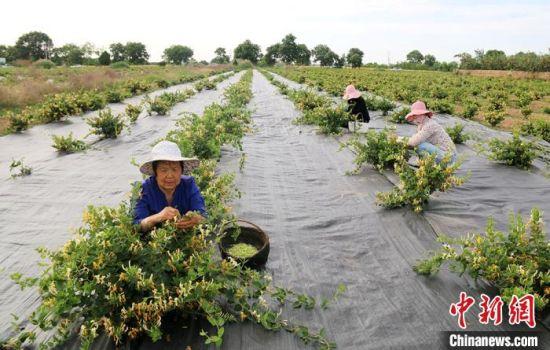 西峰区后官寨镇帅堡村新望养殖农民专业合作社组织工人采摘金银花。(资料图) 盘小美 摄