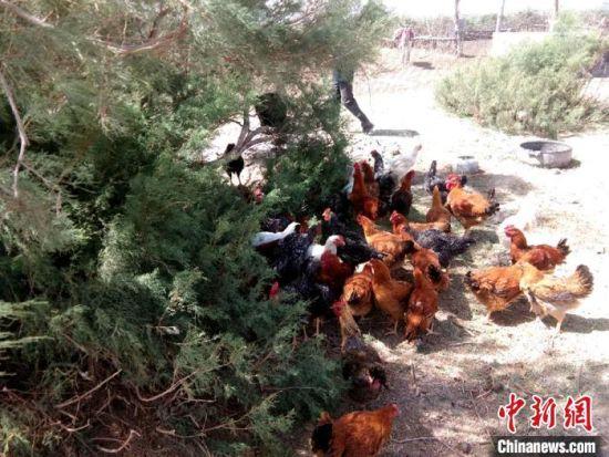 图为瓜州县锁阳城镇农丰村农户散养鸡。(资料图) 杜莹杰 摄