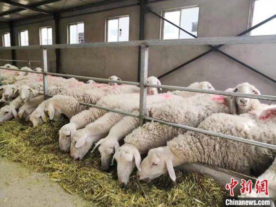 图为甘肃金昌一企业的养殖厂。(资料图) 艾庆龙 摄