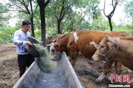 甘肃庆阳市西峰区什社乡文安村村民班岁虎给牛群添加草料。(资料图) 盘小美 摄