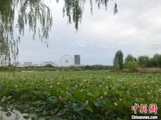 图为甘州城区一公园内,满池荷花含苞待放。 闫姣 摄