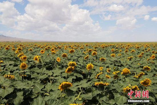 图为万亩葵花。 张其文 摄
