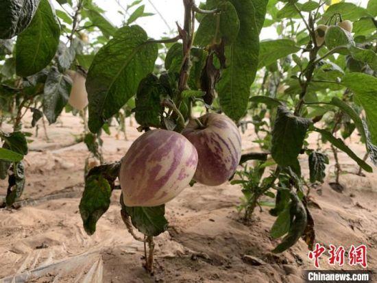 图为甘肃省武威市古浪县黄花滩六道沟生产基里,戈壁蔬果进入盛果期。(资料图) 崔琳 摄