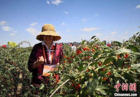 图为白银市靖远县发展的枸杞产业。(资料图) 刘玉桃 摄