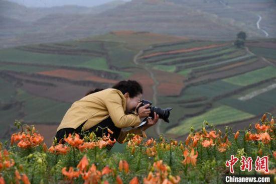 图为百合盛开吸引摄影爱好者。 赵江梅 摄