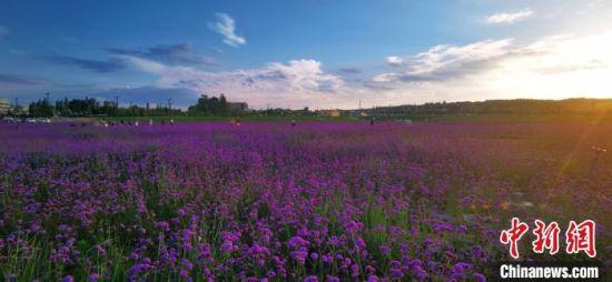 8月上旬,位于兰州新区中川国际机场附近的临港花海大面积的马鞭草开得正旺。 魏建军 摄