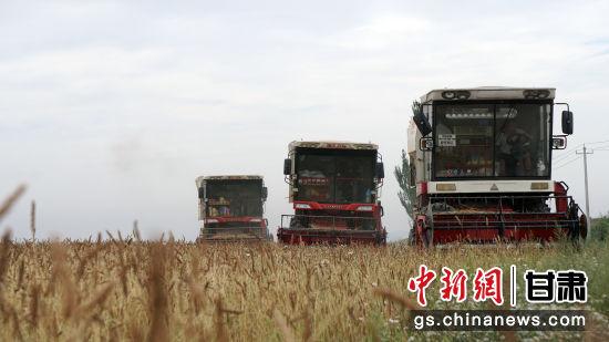 """""""和尚头""""小麦是生长在旱砂地里的一种传统有机小麦,在高海拔干旱地区广泛种植。"""