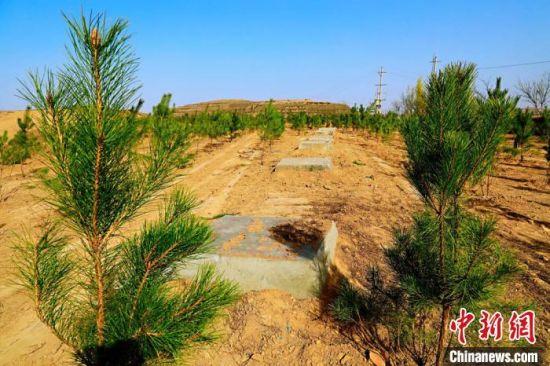 长庆油田采油二厂对于重点水源保护区和生态保护区的油水井,封堵后的井场全部栽种油松树。 李忠斌 摄