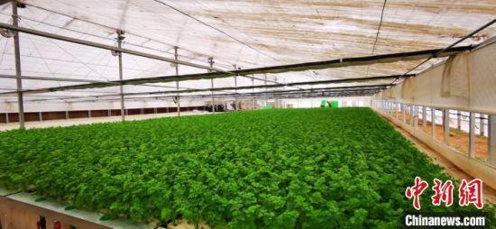 水培叶菜栽培双膜大棚里种植着各类蔬菜。 魏建军 摄