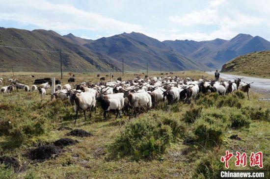 图为甘南牧民放牛。(资料图)安多集团供图