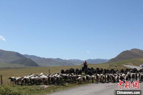 图为牧民放牧。(资料图)安多集团供图