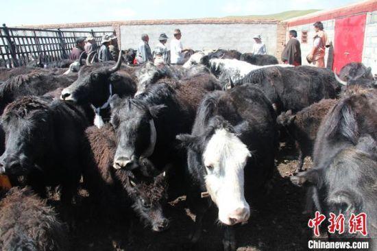 图为企业到牧民家收购牦牛。(资料图)安多集团供图
