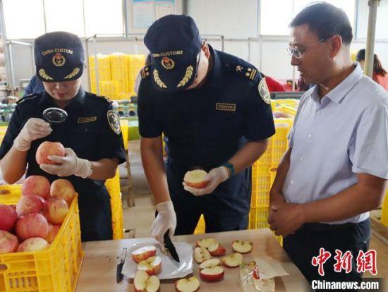 这是甘肃苹果首次进入澳大利亚市场。图为兰州海关工作人员对出口苹果进行检验检疫。兰州海关供图