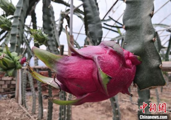 图为现代农业科技示范园种植火龙果逐渐成熟。 刘玉桃 摄