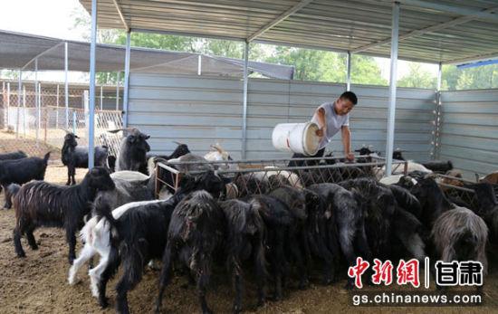 西峰区孔塬村村民冉楠给黑山羊添食。
