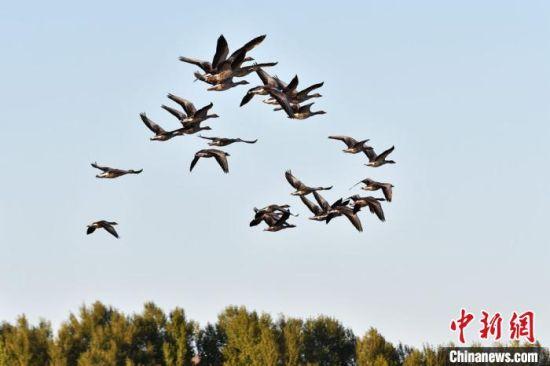 大批的候鸟在空中飞翔。 郑耀德 摄