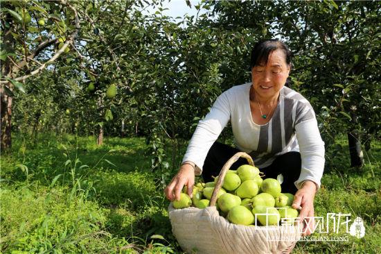 何天池的妻子樊雪花整理香蕉梨。