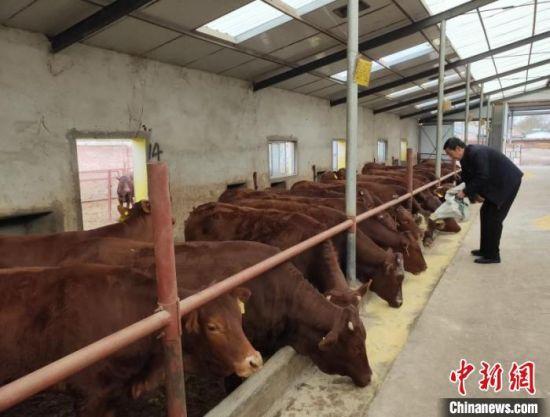 灵台县因村制宜,发展养牛、苹果、蔬菜,以及劳务等主导产业。图为养殖户在牛圈喂牛。(资料图)灵台县委宣传部供图