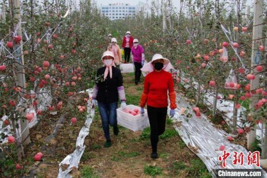 """灵台县因地制宜发展苹果产业。图为农民采摘""""丰收果""""。(资料图) 灵台县委宣传部供图"""