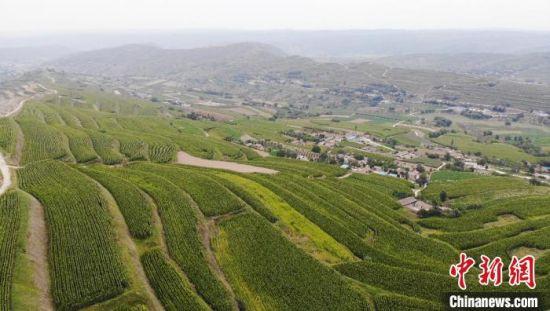图为农业公司通过土地流转将山地全部种植成饲草玉米,在增加土地收益的同时,也带动周边农民就业。 高展 摄