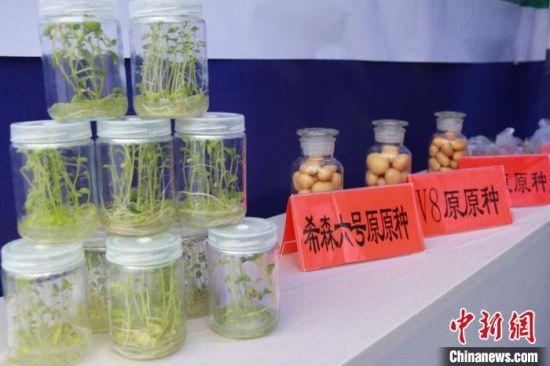 图为定西市安定区一家种薯培育公司的产品展示。 张婧 摄