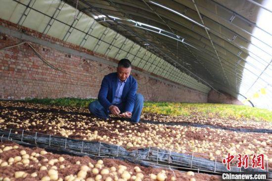 图为定西马铃薯研究所所长李进福在原原种培育大棚看种薯长势。 张婧 摄