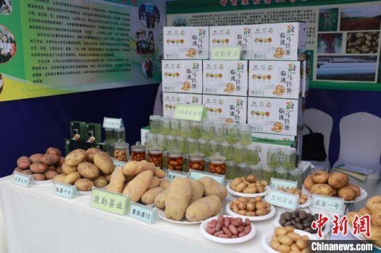 图为临洮县马铃薯产业协会会长康勤在马铃薯大会期间的样品展示。 张婧 摄