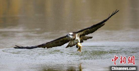 """图为闫慧荣几年前拍摄到的鹗(又称""""鱼鹰"""")捕鱼的照片。(资料图)受访者供图"""