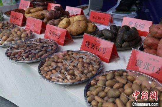"""图为""""中国薯都""""甘肃定西不同品种的马铃薯种薯展示。 张婧 摄"""