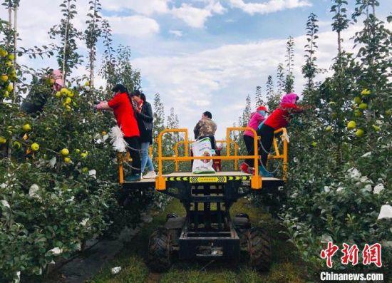 灵台县果农在机械协助下,进行摘袋,为采摘做最后准备。 艾庆龙 摄
