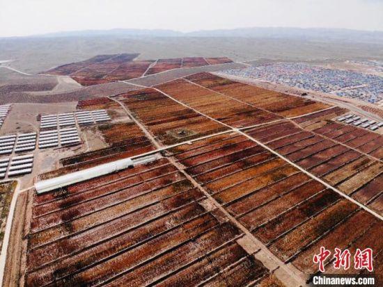 """金秋时节,素有""""中国高原藜麦之都""""之称的甘肃武威市天祝县迎来藜麦收获季。图为航拍藜麦核心试验示范点,地里姹紫嫣红,一派生机。 高莹 摄"""