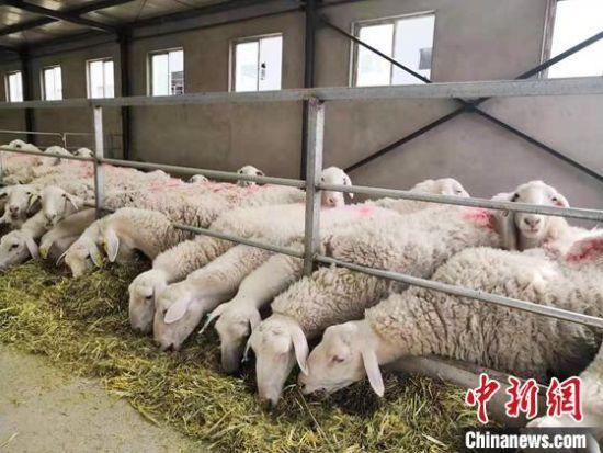 图为甘肃金昌市一企业养殖场。(资料图) 艾庆龙 摄