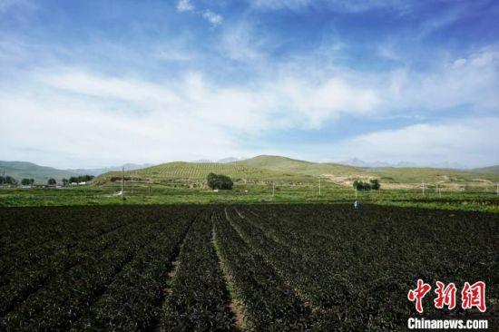 图为甘肃武威市天祝县高原绿色(有机)蔬菜基地。(资料图) 高展 摄