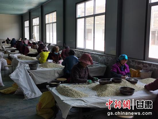 图为鑫宇合作社内就近务工的村民正在为半夏分级。 吴鹏 摄