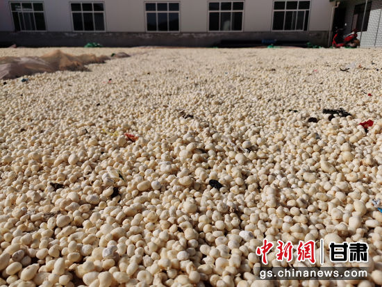 图为西和县鑫宇合作社晾晒的半夏,颗粒饱满圆润。 高康迪 摄