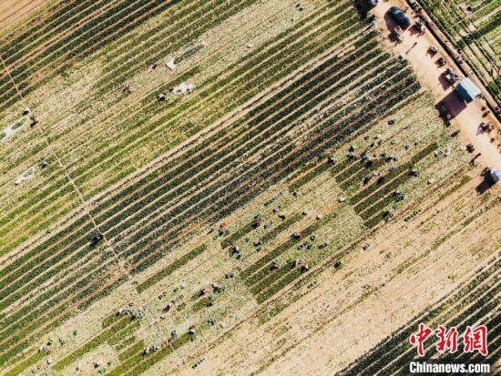 10月中下旬,位于甘肃河西走廊中段金昌市的戈壁沙漠上,又一茬蔬菜陆续长熟,地里的斗白、甜菜心、娃娃菜、红笋、西兰花等青翠欲滴。 高莹 摄