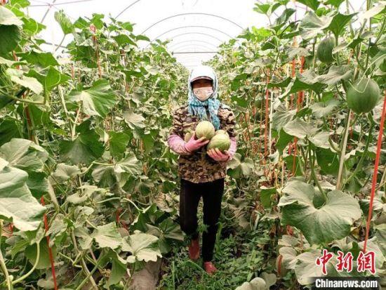 图为种植户采摘蜜瓜。(资料图) 王昭琪 摄