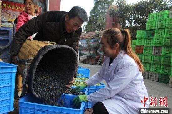 10月25日,武都区农民采摘油橄榄果后,用背篓背着交给当地合作社。(资料图)武都区融媒体中心供图