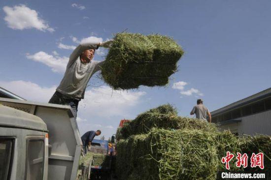 """甘肃""""以草定畜、以畜促草、草畜互动、共同发展"""",羊产业兴旺又促进草产业高质量发展。图为农民出售自家种的饲草。(资料图) 李文 摄"""