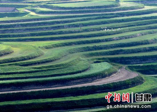 甘肃环县气候凉爽,干旱少雨,日照时间长是优质牧草的天然适生区。当地每年新修梯田15万亩左右,新增梯田70%用于种植牧草。(资料图)李文摄