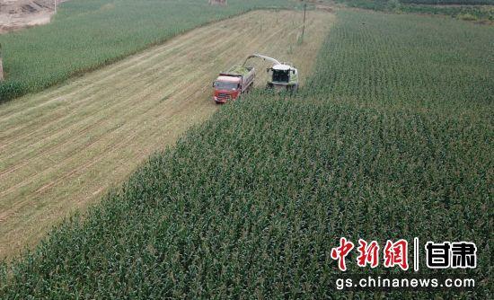 图为环县青贮玉米收割。(资料图) 李文 摄