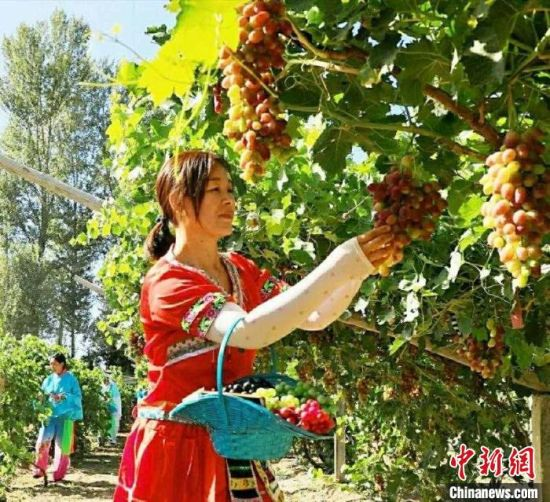 图为甘肃酒泉市金塔县,游客体验采摘葡萄。(资料图)   卢玉 摄