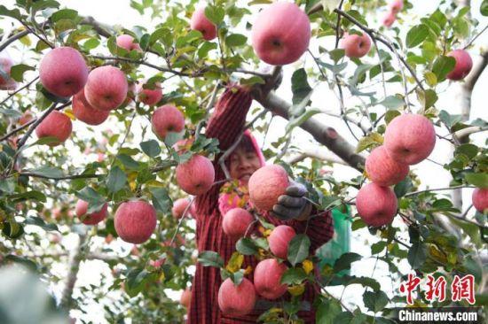 2020年10月28日,平凉市灵台县黄土塬上的苹果丰收,农民在树林中采摘苹果。 杨艳敏 摄