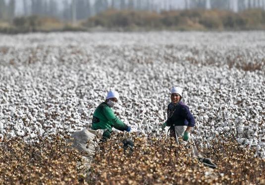 阿克苏棉花产量约占中国的1/6 。刘新 摄