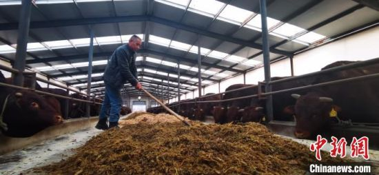 """图为位于静宁县的""""平凉红牛""""供港养殖及出口创汇基地。 魏建军 摄"""
